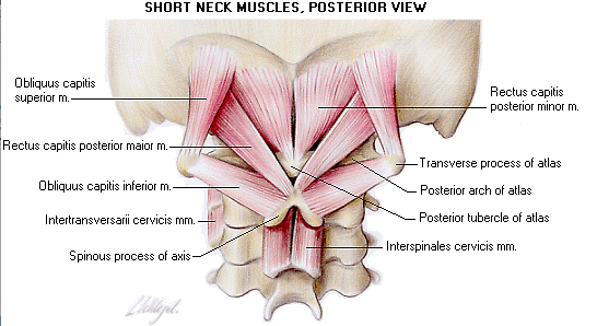 Short Neck Muscles, Posterior View